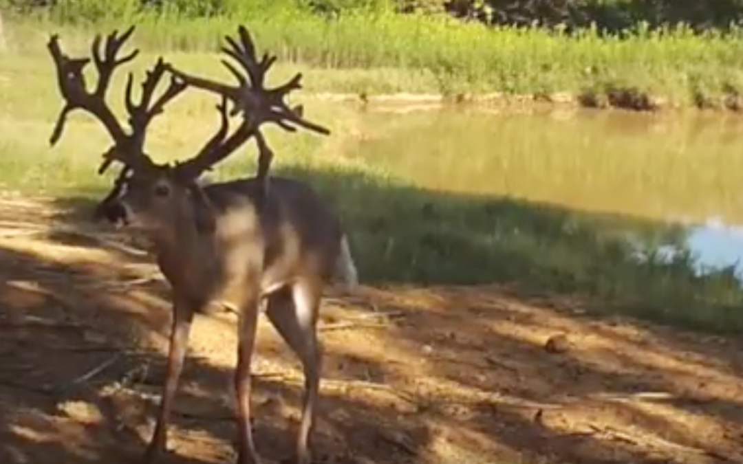 350″+ Whitetail buck in this hunting video