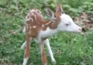 piebald whitetail fawn