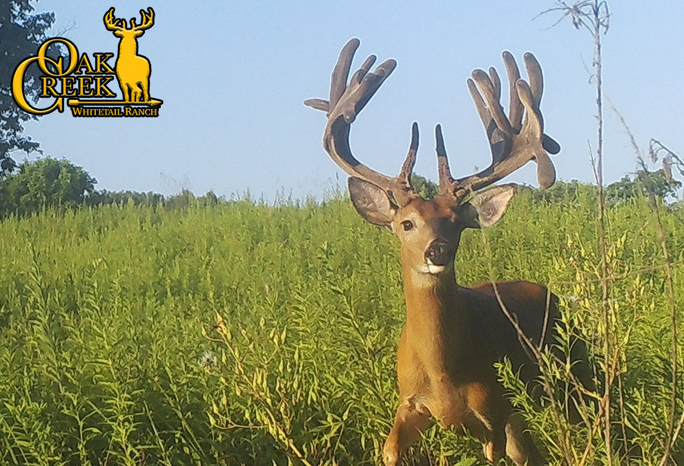 Scoring your typical whitetail deer?