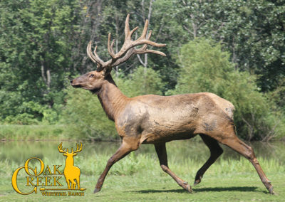 2018 Oak Creek Elk Trail Cam